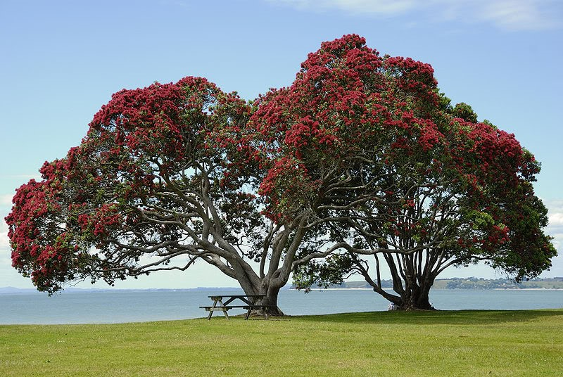 pohutukawa, the kiwi xmas tree ... full bloom end of nov generally means long hot summer
